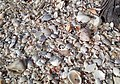 Mollusc shells on marine beach (Cayo Costa Island, Florida, USA) 16 (25574883763).jpg