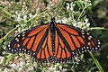 Monarch - Danaus plexippus, Occoquan Regional Park, Lorton, Virginia (38373281696).jpg
