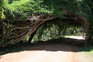 Canopy (biology) - A Monkey Ladder Vine canopy over a road