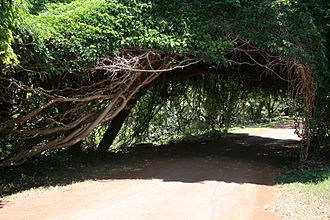 Liana - A canopy of Entada gigas that has formed over a monkey ladder vine (Bauhinia glabra) on Kauai, Hawaii.