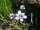 Montane blue-eyed grass (Whitefish I)