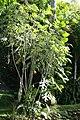 Montanoa hibiscifolia 3zz.jpg