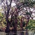Montezuma Bald Cypress (Taxodium mucronatum), Rio Pilón near Villagrán, Municipality of Villagrán, Tamaulipas, Mexico (9 August 2005).jpg
