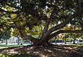 Moreton Bay fig tree in Balboa Park.jpg
