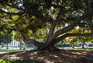 Ficus macrophylla - Large Moreton Bay fig tree in Balboa Park, San Diego.