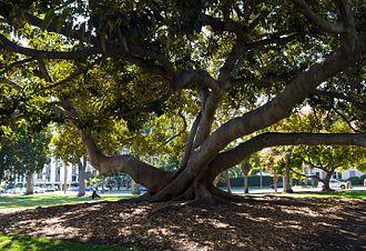 Ficus macrophylla - Large Moreton Bay fig tree in Balboa Park, San Diego.