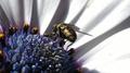 Mosca en flor de Osteospermum 01.png