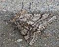 Moth 03 (MK).jpg
