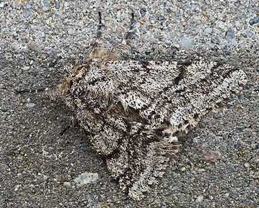 Brindled Beauty (Lycia hirtaria)