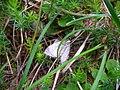 Moth in grass.jpg