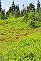 Mount Rainier - Paradise meadow, August 2014 - 01.jpg