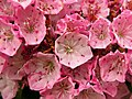 Mountain Laurel Kalmia latifolia Cultivar Flowers 3264px.jpg