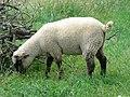 Mouton (02).jpg