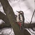 Mrs Woodpecker (32881514783).jpg
