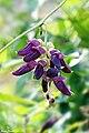 Mucuna pruriens (Velvet bean) നായ്ക്കുരണ. (37914440585).jpg