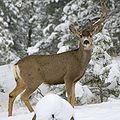 Mule deer missing antler.jpg