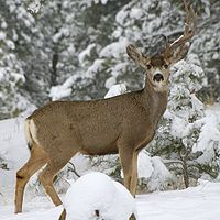 A mule deer missing an antler.