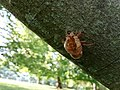 Murier Unidentified Cicadidae Ecdysis 1.jpg