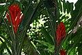 Musa coccinea 22zz.jpg