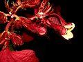 Mussaenda Erythrophylla IIST.jpg