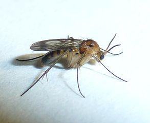 Mycetophila_sp.
