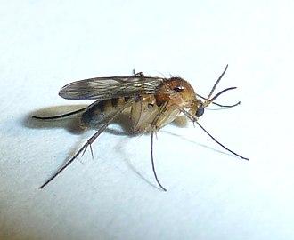 Mycetophilidae - Image: Mycetophila sp, a, Pretoria