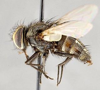 <i>Myiopharus</i> Genus of flies
