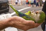 Myiopsitta monachus -very tame pet held in palm of hand-8a.jpg