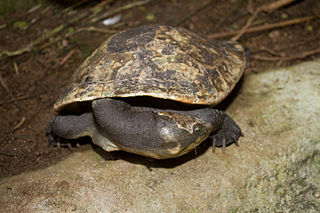 Neck withdrawn (New Guinea Snapping Turtle)