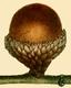 NAS-016f Quercus incana acorn.png