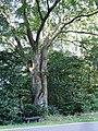 ND-7335-288 Rotbuche im Finstertal (Eulenbis, VG Weilerbach, Landkreis Kaiserslautern).jpg