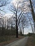 ND0906-8 Hohenbocka Quercus Robur.jpg