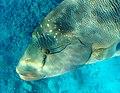Napoleon-Lippfisch (Cheilinus undulatus)..PHOT0560BE.jpg