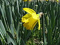 Narcissus pseudonarcissus3.jpg