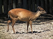Natal-Rotducker Zoo Landau.JPG