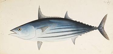 https://upload.wikimedia.org/wikipedia/commons/thumb/1/18/Naturalis_Biodiversity_Center_-_RMNH.ART.563_-_Katsuwonus_pelamis_(Linnaeus)_-_Kawahara_Keiga_-_1823_-_1829_-_Siebold_Collection_-_pencil_drawing_-_water_colour.jpeg/372px-thumbnail.jpeg