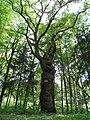 """Naturdenkmal """"Lindenallee mit alter Eiche"""", ND-7335-287, Rodenbach (Westpfalz), zu sehen ist die """"Alte Eiche"""" von 1676.jpg"""