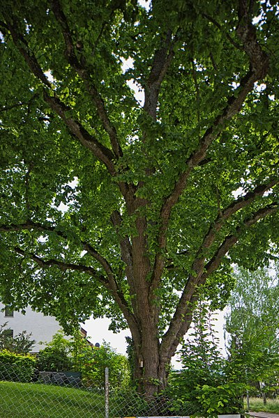 File:Naturdenkmal Große Linde, Kennung 82350290006, Gechingen 03.jpg