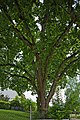 Naturdenkmal Große Linde, Kennung 82350290006, Gechingen 03.jpg