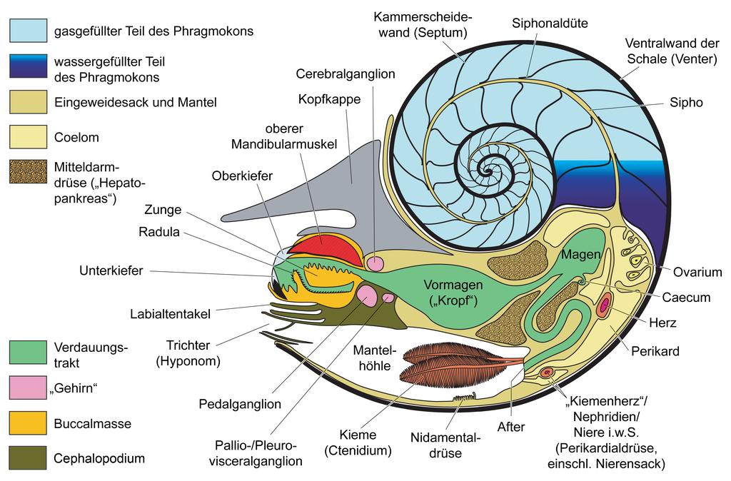 File:Nautilus Anatomie farbig DE.png - Wikimedia Commons
