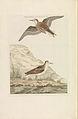 Nederlandsche vogelen (KB) - Calidris minuta (271pl).jpg