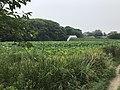 Nelumbo nucifera in north moat of Fukuoka Castle 16.jpg