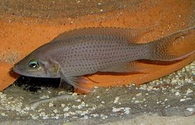 Neolamprologus olivaceous.jpg