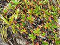 Nepenthes pervillei6.jpg