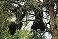 Nests of Psittacula krameri - Parc Ten Reuken - Watermael Boitsfort 2017-06 --2.jpg