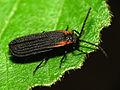 Net-winged Beetle (14348500098).jpg