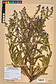 Neuchâtel Herbarium - Borago officinalis - NEU000020585.jpg