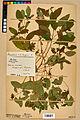 Neuchâtel Herbarium - Impatiens noli-tangere - NEU000019932.jpg