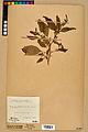 Neuchâtel Herbarium - Impatiens noli-tangere - NEU000019936.jpg