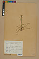 Neuchâtel Herbarium - Luzula multiflora - NEU000045490.jpg